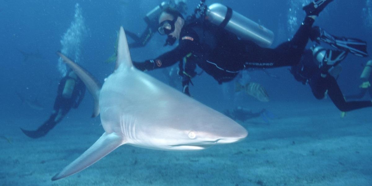 צלילה באיים האזוריים עם כרישים
