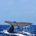 צפייה בלוויתנים באיים האזוריים