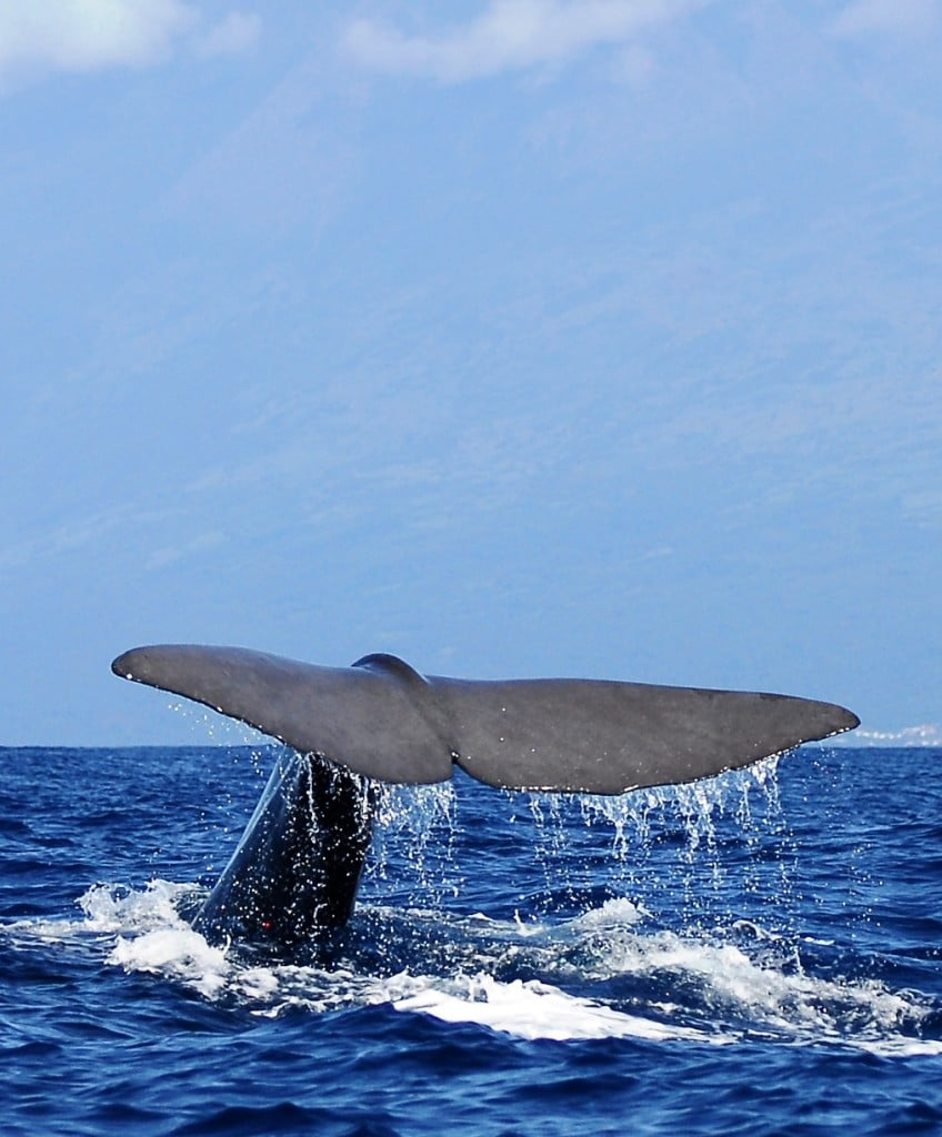צפייה בלוויתנים באי סאו מיגל