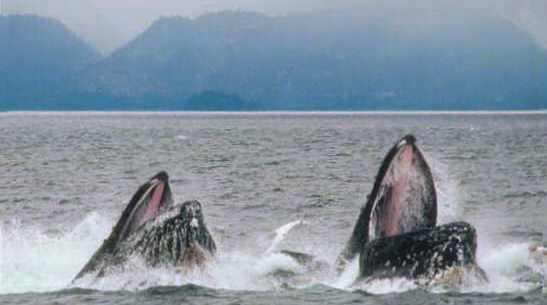 לווייתנים גדולי סנפיר