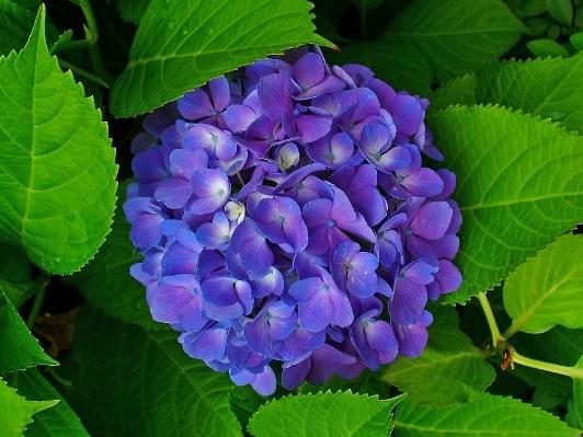 צמחיית האיים האזוריים - פרח הידראנגאה