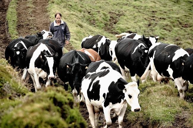 פרות במרעה בסאו ג'ורג' - האיים האזוריים