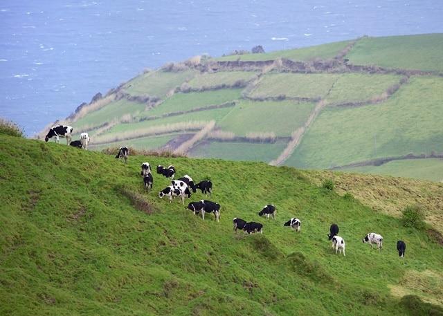 פרות מאושרות באי סאו מיגל