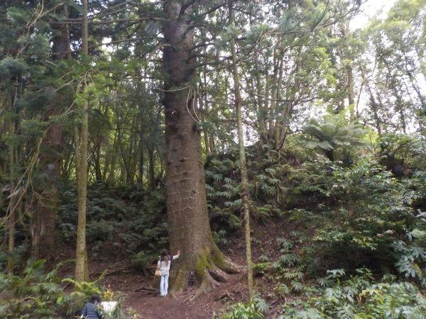 עץ האראוקריה בפארק פורנאש