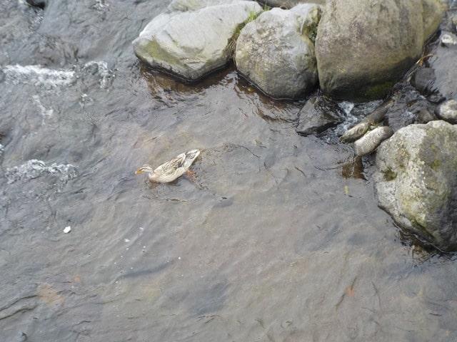 והברווז ששוחה במימיו