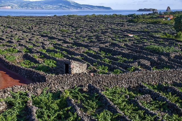 חומות האבן שמפרידות בין הכרמים באי פיקו