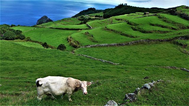האיים האזוריים - הארכיפלג שיש בו יותר פרות מאנשים